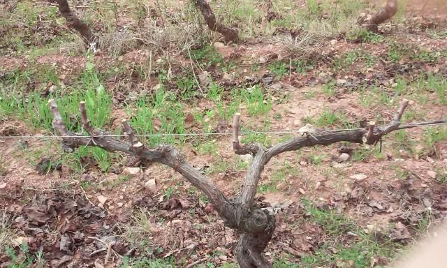 taille de vigne  8kx7nl