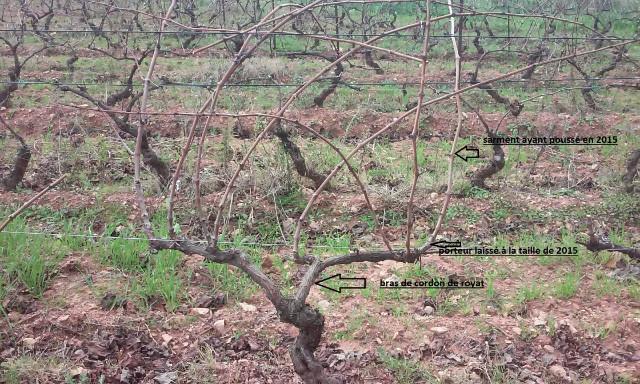 taille de vigne  E7376o