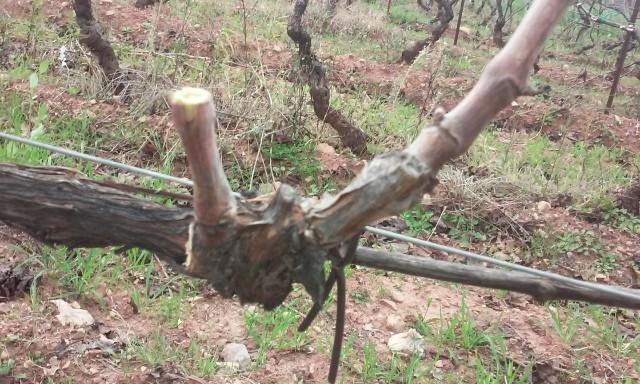 taille de vigne  H1wv5a