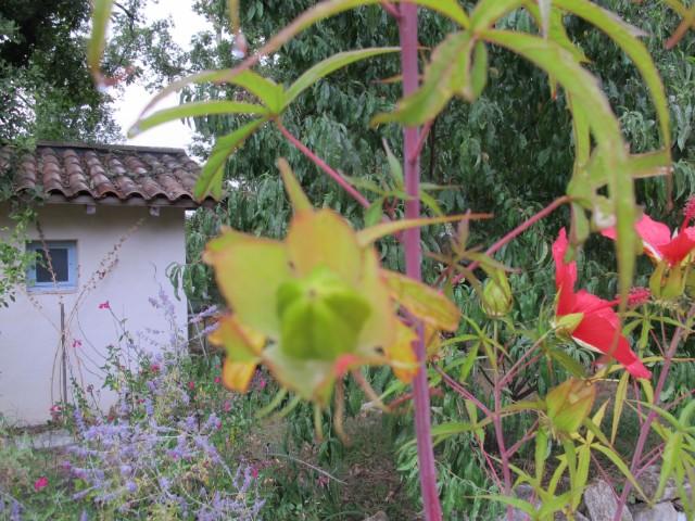 Hibiscus coccineus - Page 23 2fhe8m
