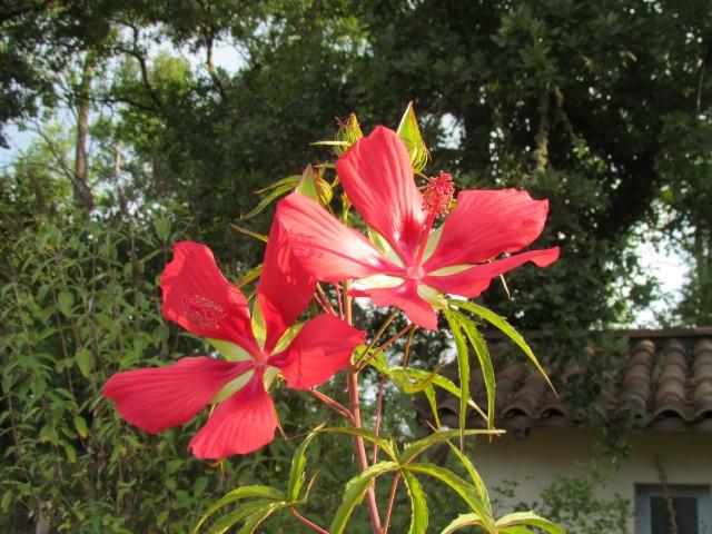 Hibiscus coccineus - Page 22 5zqrbk