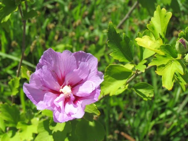 Hibiscus syriacus ou althéa  - Page 3 Rileij