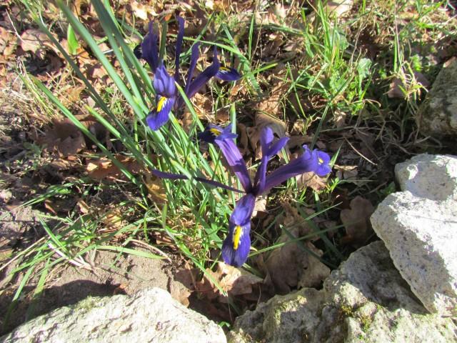 Iris reticulata - Page 9 Ztli93